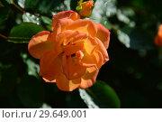 Купить «Роза кустарниковая Мериголд Свит Дрим (Rosa Marigold Sweet Dream), Fryer's Roses, Великобритания 2010», эксклюзивное фото № 29649001, снято 21 июля 2015 г. (c) lana1501 / Фотобанк Лори