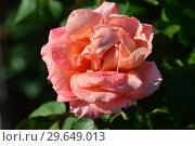 Роза чайно-гибридная Вом Вишес (лат. Rosa Warm Wishes), Fryer's Roses, Англия 1994. Стоковое фото, фотограф lana1501 / Фотобанк Лори