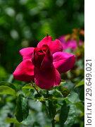 Роза кустарниковая Зе Дак Леди (Зе Дарк Леди) (лат. Rosa The Dark Lady), David Austin Roses, Великобритания 1991. Стоковое фото, фотограф lana1501 / Фотобанк Лори