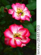 Роза флорибунда Бетти Буп (Rosa Betty Boop), Carruth США, 1999. Стоковое фото, фотограф lana1501 / Фотобанк Лори