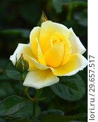 Купить «Роза чайно-гибридная Вандэ Глоб (Rosa Vendee Globe). Francois Dorieux II (France, 2000), Laperriere», эксклюзивное фото № 29657517, снято 23 июля 2015 г. (c) lana1501 / Фотобанк Лори