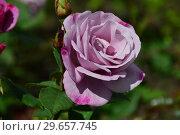 Купить «Цветок чайно-гибридной розы Муди Блю (Rosa Moody Blue), Fryer's Roses, Великобритания 2008», эксклюзивное фото № 29657745, снято 23 июля 2015 г. (c) lana1501 / Фотобанк Лори
