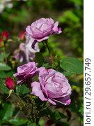 Купить «Чайно-гибридная роза Муди Блю (Rosa Moody Blue), Fryers Roses, Великобритания 2008», эксклюзивное фото № 29657749, снято 23 июля 2015 г. (c) lana1501 / Фотобанк Лори