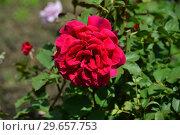Роза чайно-гибридная Вэлвет Фрэйгрэнс (Вельвет Фрагранс) (Rosa Velvet Fragrance), Fryer's Roses, Англия 1988. Стоковое фото, фотограф lana1501 / Фотобанк Лори