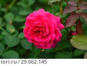 Купить «Роза кустарниковая Сэр Джон Бетджемен (Сэр Джон Бенджамин) (лат. Rose Sir John Betjeman), David Austin Roses, Великобритания 2008», эксклюзивное фото № 29662145, снято 23 июля 2015 г. (c) lana1501 / Фотобанк Лори