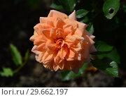 Купить «Миниатюрная роза патио Корэл Свит Дрим (Корал Суит Дрим) (Coral Sweet Dream), Fryers Roses, Великобритания 2011», эксклюзивное фото № 29662197, снято 23 июля 2015 г. (c) lana1501 / Фотобанк Лори