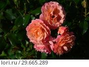 Купить «Роза полиантовая Бордюр Априкот (Бордюр Абрикот) (Rosa Bordure Apricot), Delbard France, 2001», эксклюзивное фото № 29665289, снято 21 июля 2015 г. (c) lana1501 / Фотобанк Лори