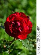 Купить «Роза флорибунда Мона Лиза (лат. Mona Lisa). Meilland, Франция 2003», эксклюзивное фото № 29665481, снято 21 июля 2015 г. (c) lana1501 / Фотобанк Лори