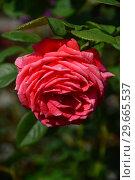 Купить «Роза чайно-гибридная Мажисьэн 78 (Мажисьен) (лат. Rosa Magicienne 78). Laperriere (Лаперье), Франция 1978», эксклюзивное фото № 29665537, снято 27 июля 2015 г. (c) lana1501 / Фотобанк Лори