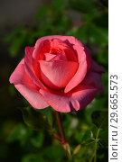 Купить «Роза чайно-гибридная Артур Рембо (Rosa Arthur Rimbaud), Meilland International, France 2008», эксклюзивное фото № 29665573, снято 24 июля 2015 г. (c) lana1501 / Фотобанк Лори