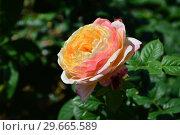 Купить «Роза кустарниковая Розаман Жанон (лат. Rosa Rosomane Janon). Guillot- Massada, Франция 2001», эксклюзивное фото № 29665589, снято 1 июля 2015 г. (c) lana1501 / Фотобанк Лори