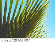 Купить «Palm tree leaf under blue sky, tropical nature background», фото № 29666097, снято 15 декабря 2018 г. (c) EugeneSergeev / Фотобанк Лори