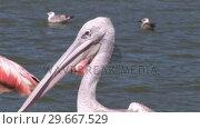 Купить «Close up of Pelicans», видеоролик № 29667529, снято 12 июля 2020 г. (c) Wavebreak Media / Фотобанк Лори