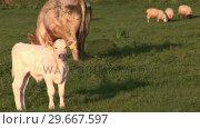 Bulls in a Field. Стоковое видео, агентство Wavebreak Media / Фотобанк Лори