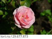 Купить «Роза флорибунда Баиландо (Байландо) (лат. Rosa Bailando). Roses Tantau, Германия 2008», эксклюзивное фото № 29677873, снято 23 июля 2015 г. (c) lana1501 / Фотобанк Лори