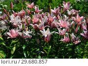 Купить «Лилия восточная махровая Изабелла Роузлили (лат. Roselily Isabella)», эксклюзивное фото № 29680857, снято 1 июля 2015 г. (c) lana1501 / Фотобанк Лори
