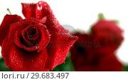 Купить «Raindrop falling on a red rose», видеоролик № 29683497, снято 22 ноября 2012 г. (c) Wavebreak Media / Фотобанк Лори