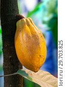 Купить «Плод дерева какао», фото № 29703825, снято 6 июля 2017 г. (c) Татьяна Белова / Фотобанк Лори
