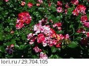 Купить «Роза флорибунда Крэйзи фо Ю (Fourth of July), (Rose Crazy for You). Harkness Roses, Великобритания 2009», эксклюзивное фото № 29704105, снято 1 июля 2015 г. (c) lana1501 / Фотобанк Лори