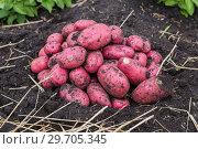 Купить «Картофель нового урожая», фото № 29705345, снято 22 августа 2018 г. (c) Ольга Сейфутдинова / Фотобанк Лори