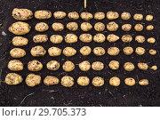 Купить «Картофель нового урожая выложен на земле по размеру клубня», фото № 29705373, снято 22 августа 2018 г. (c) Ольга Сейфутдинова / Фотобанк Лори