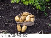 Купить «Картофель в мешочке на поле», фото № 29705437, снято 22 августа 2018 г. (c) Ольга Сейфутдинова / Фотобанк Лори