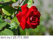 Купить «Роза чайно-гибридная Биколетт (Биколете), (Rosa Bicolette). Laperriere (Лаперье). Ernest Tschanz, Швейцария 1980», эксклюзивное фото № 29711989, снято 27 июля 2015 г. (c) lana1501 / Фотобанк Лори