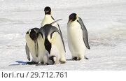 Купить «Emperor Penguin with chicks in Antarctica», видеоролик № 29712761, снято 28 декабря 2018 г. (c) Vladimir / Фотобанк Лори