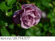 Купить «Цветок чайно-гибридной розы Муди Блю (Rosa Moody Blue), Fryer's Roses (Розы Фраера), Великобритания 2008», эксклюзивное фото № 29714577, снято 27 июля 2015 г. (c) lana1501 / Фотобанк Лори