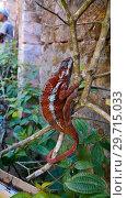 Купить «Portrait of panther chameleon aka Furcifer pardalis in Andasibe-Mantadia National Park, Madagascar», фото № 29715033, снято 10 декабря 2018 г. (c) Сергей Майоров / Фотобанк Лори