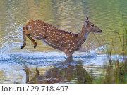 Купить «Spotted Deer, Cheetal, Axis Axis, Axis Deer, Royal Bardia National Park, Bardiya National Park, Nepal, Asia.», фото № 29718497, снято 16 января 2019 г. (c) age Fotostock / Фотобанк Лори