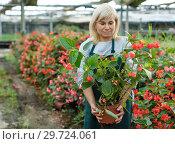 Купить «Female gardener working with red begonia plants in pots in greenhouse», фото № 29724061, снято 20 августа 2018 г. (c) Яков Филимонов / Фотобанк Лори