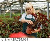 Купить «Mature female gardener working with begonia plants in pots in greenhouse», фото № 29724069, снято 20 августа 2018 г. (c) Яков Филимонов / Фотобанк Лори