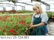 Купить «Mature female gardener with scissors cutting vervena plants in greenhouse», фото № 29724081, снято 20 августа 2018 г. (c) Яков Филимонов / Фотобанк Лори