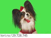 Купить «Beautiful dog Papillon in Santa Claus costume on green background», фото № 29728745, снято 25 августа 2019 г. (c) Юлия Машкова / Фотобанк Лори