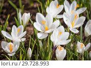 Купить «White crocus on flowerbed», фото № 29728993, снято 15 апреля 2018 г. (c) Юлия Бабкина / Фотобанк Лори
