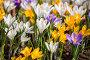Купить «Colorful crocus», фото № 29728997, снято 15 апреля 2018 г. (c) Юлия Бабкина / Фотобанк Лори