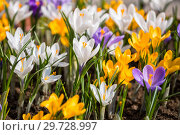 Colorful crocus. Стоковое фото, фотограф Юлия Бабкина / Фотобанк Лори