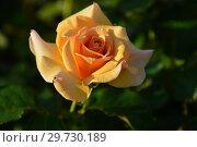 Купить «Роза чайно-гибридная Чешир (Чешире), (Rosa Cheshire). Fryer's Roses (Розы Фраера), Великобритания 2000», эксклюзивное фото № 29730189, снято 24 июля 2015 г. (c) lana1501 / Фотобанк Лори