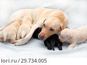 Купить «Выводок лабрадоров. Мать кормит своих своих щенков», фото № 29734005, снято 15 января 2019 г. (c) Григорий Писоцкий / Фотобанк Лори