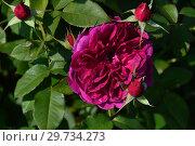 Купить «Роза кустарниковая Дарси Басселл (AUSdecorum, Monferrato), (лат. Darcey Bussell). David Austin, Великобритания 2006», эксклюзивное фото № 29734273, снято 27 июля 2015 г. (c) lana1501 / Фотобанк Лори
