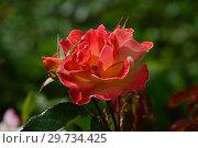 Роза полиантовая Солей дю Монд (лат. Rosa Soleil du Monde). Delbard (Делбар), France 2007. Стоковое фото, фотограф lana1501 / Фотобанк Лори
