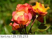 Купить «Роза чайно-гибридная Рио Самба (лат. Rio Samba)», эксклюзивное фото № 29735213, снято 25 июля 2015 г. (c) lana1501 / Фотобанк Лори