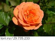 Купить «Роза флорибунда Супер Трупер (лат. Super Trouper)», эксклюзивное фото № 29735233, снято 25 июля 2015 г. (c) lana1501 / Фотобанк Лори