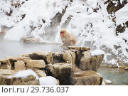 Купить «japanese macaque or snow monkey at hot spring», фото № 29736037, снято 8 февраля 2018 г. (c) Syda Productions / Фотобанк Лори