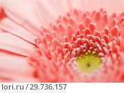Купить «beautiful gerbera flower in living coral color», фото № 29736157, снято 27 марта 2016 г. (c) Syda Productions / Фотобанк Лори
