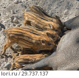 Купить «Central European wild boar (Sus scrofa scrofa) piglets suckling. Funny family», фото № 29737137, снято 16 июля 2018 г. (c) Валерия Попова / Фотобанк Лори