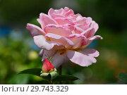 Купить «Роза чайно-гибридная Эль (Meibderos, Элле, Она), (лат. Rosa Elle). Meilland (Мейян), Франция 2000», эксклюзивное фото № 29743329, снято 17 июля 2015 г. (c) lana1501 / Фотобанк Лори