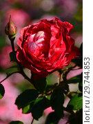 Роза чайно-гибридная (rosa tea hybrid) Ностальжи (Ностальгия, La Garconne, TANeiglat), (лат. Rosa Nostalgie). Rosen Tantau (Розы Тантау), Germany 1995. Стоковое фото, фотограф lana1501 / Фотобанк Лори