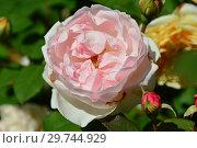 Роза чайно-гибридная Сейнт Свизан (Сейнт Суитун, AUSwith), (лат. St Swithun, Saint Swithun). David Austin, Великобритания 1994. Стоковое фото, фотограф lana1501 / Фотобанк Лори